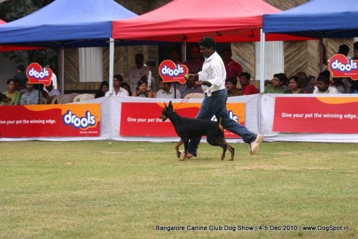 doberman,sw-12,, Bangalore 2010, DogSpot.in
