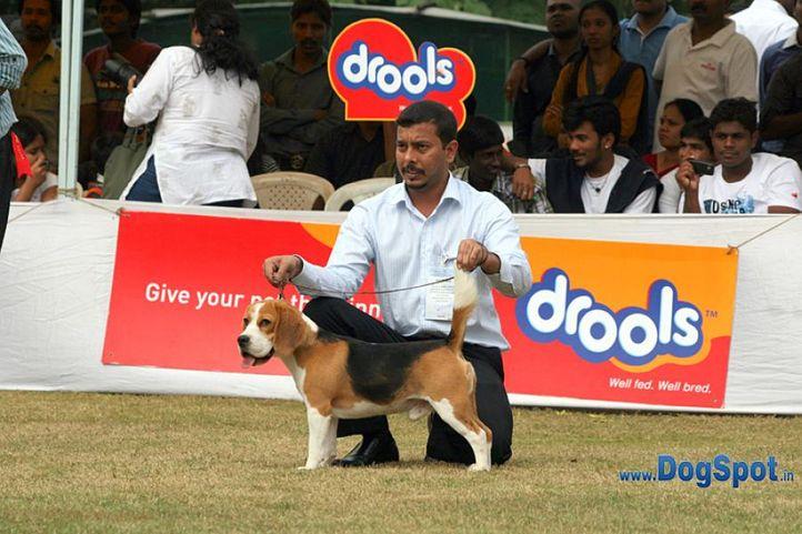 beagle,sw-12,, Bangalore 2010, DogSpot.in