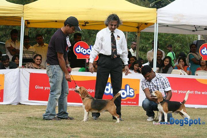 beagle,bob,bobr,ex-101,sw-12,, HIGH HOPES CELTIC CHARM, Beagle, DogSpot.in