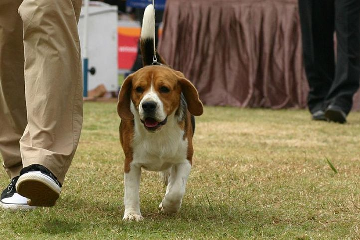 beagle,ex-90,sw-12,, SANRAMS THE WILD ONE., Beagle, DogSpot.in
