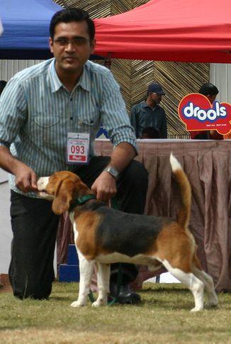beagle,ex-93,sw-12,, ALEXANDER, Beagle, DogSpot.in