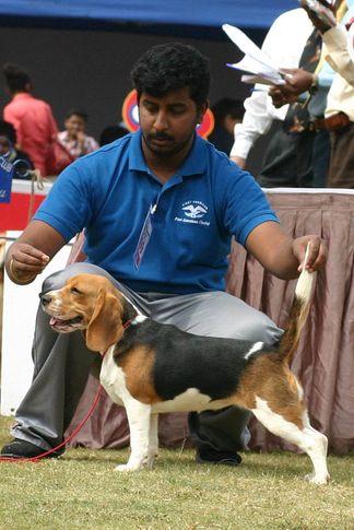beagle,ex-99,sw-12,, BLOCK BASTER, Beagle, DogSpot.in