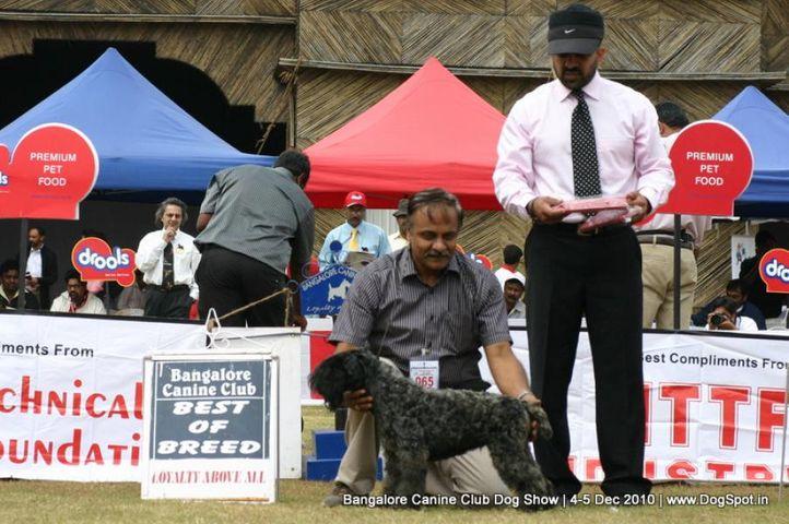 bob,ex-65,kerry blue,sw-12,, AMEYAS BLENDER, Kerry Blue Terrier, DogSpot.in