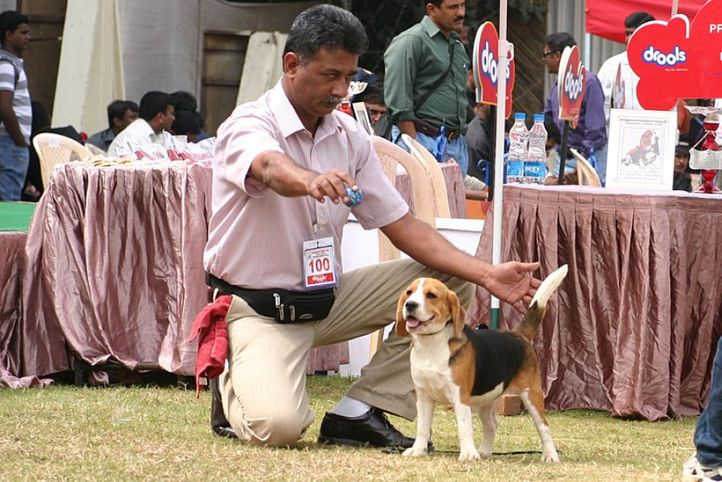 beagle,ex-100,sw-12,, BLUE BELLS WHAT A POSE, Beagle, DogSpot.in