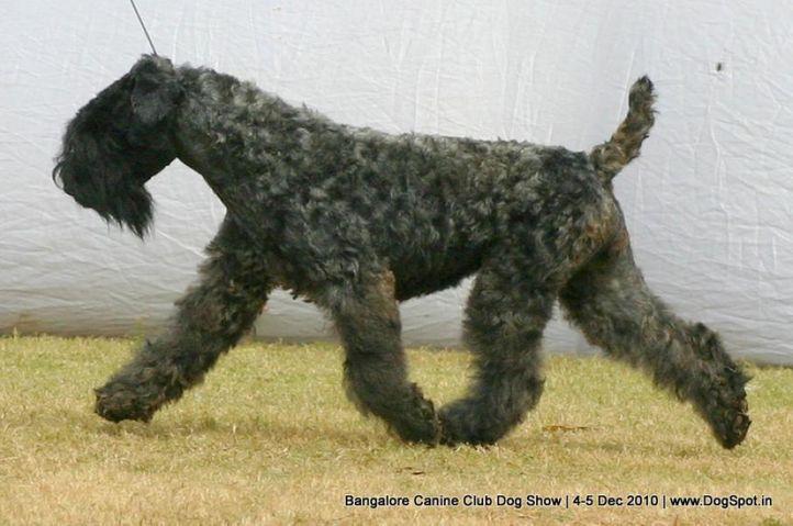 ex-65,kerry blue,sw-12,, AMEYAS BLENDER, Kerry Blue Terrier, DogSpot.in