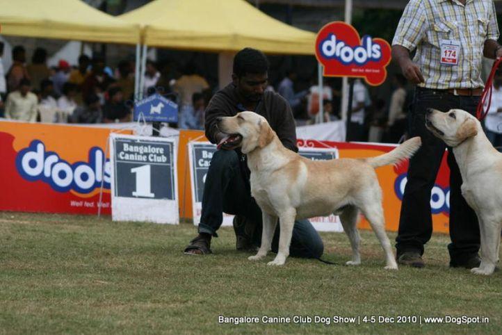 labrador,sw-12,, Bangalore 2010, DogSpot.in