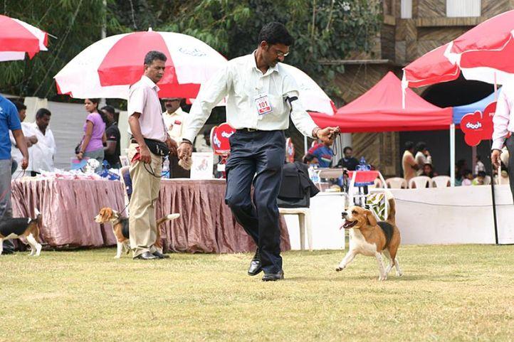 beagle,ex-101,sw-12,, HIGH HOPES CELTIC CHARM, Beagle, DogSpot.in