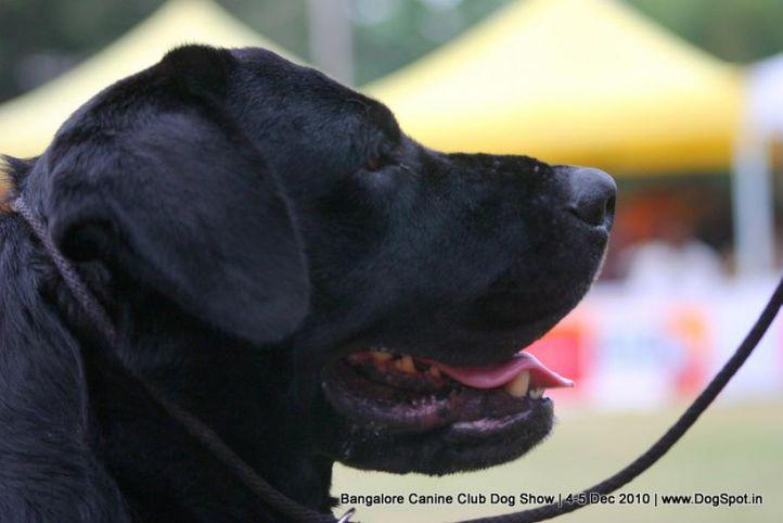 ex-194,labrador,sw-12,, JATINS REPO, Labrador Retriever, DogSpot.in