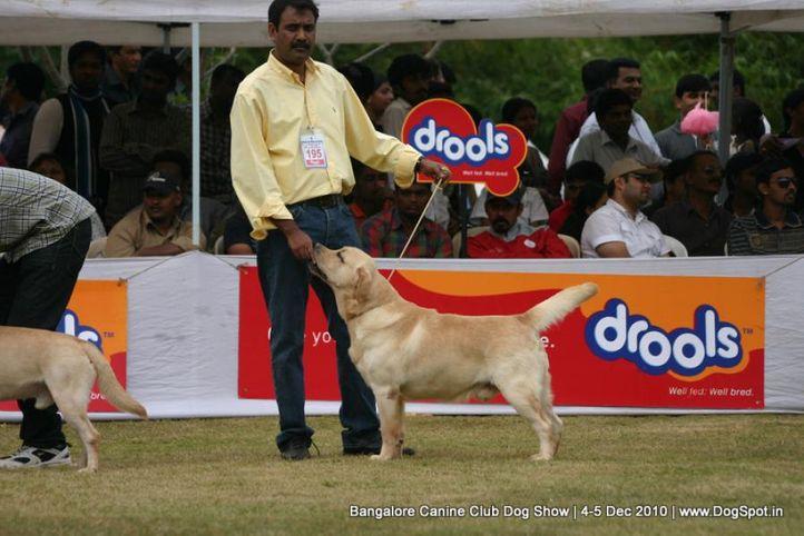 ex-195,labrador,sw-12,, TULLOCHMOHR PERFECT GENT, Labrador Retriever, DogSpot.in