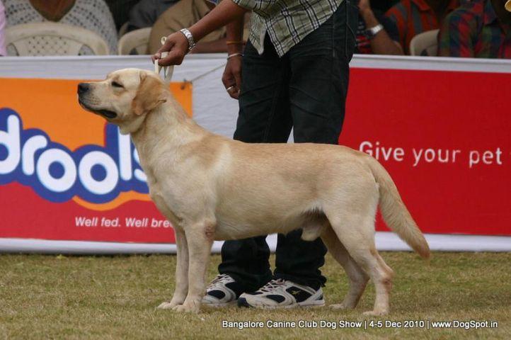 ex-196,labrador,sw-12,, VED'S CASH ME, Labrador Retriever, DogSpot.in