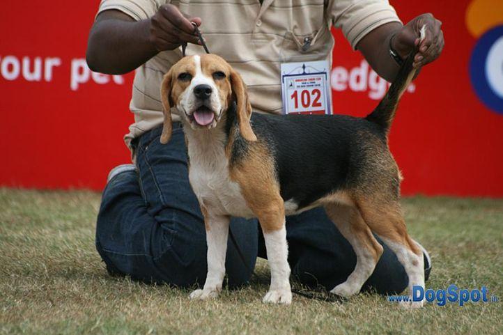 beagle,ex-102,sw-12,, KARTBRIJS TALKIN TO ME, Beagle, DogSpot.in