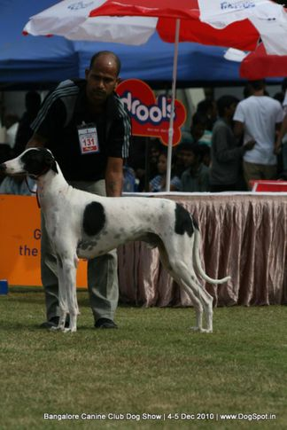 mudhol hound,sw-12,, Bangalore 2010, DogSpot.in
