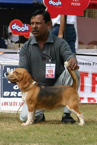 beagle,ex-105,sw-12,, SANRAMS NANCY, Beagle, DogSpot.in