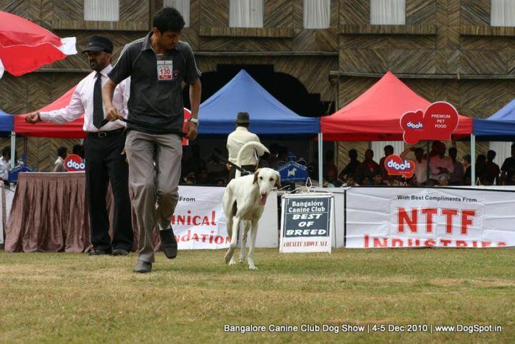 ex-130,mudhol hound,sw-12,, TIGER, Mudhol Hound, DogSpot.in