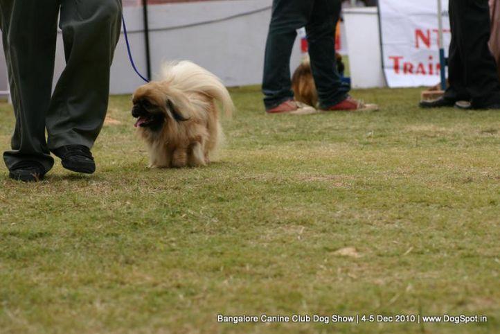 pekingese,sw-12,, Bangalore 2010, DogSpot.in
