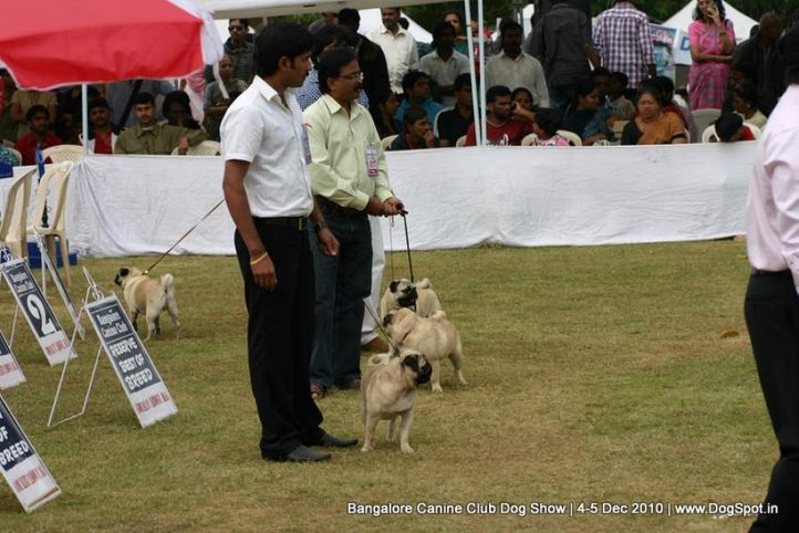 pug,sw-12,, Bangalore 2010, DogSpot.in