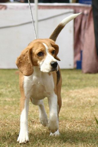beagle,ex-106,sw-12,, VENKYS SOLID GOLD, Beagle, DogSpot.in