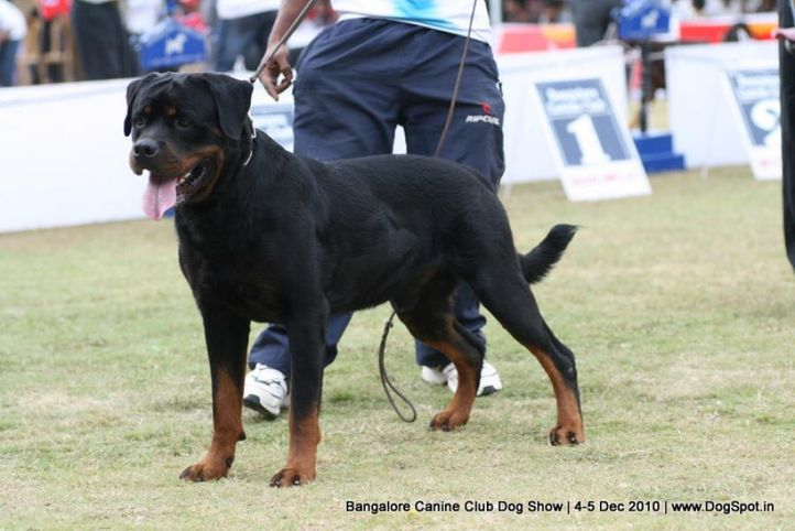 rottweiler,sw-12,, Bangalore 2010, DogSpot.in