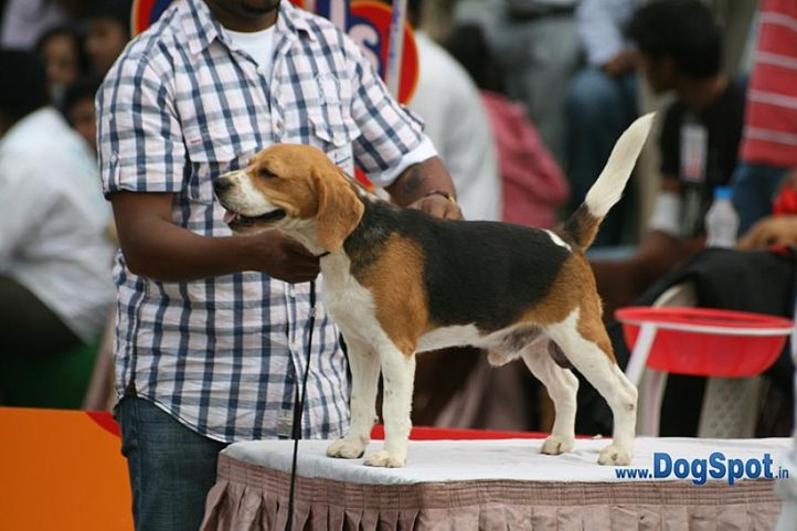 beagle,ex-112,sw-12,, SANRAMS JACKSON, Beagle, DogSpot.in
