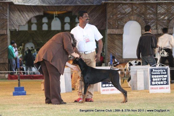 dobermann,ex-239,sw-49,, Bangalore Canine  Club 2011, DogSpot.in