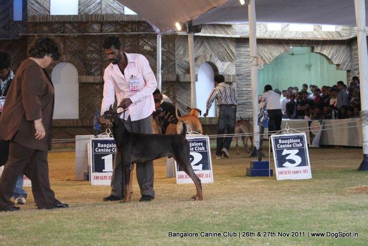 dobermann,ex-241,sw-49,, Bangalore Canine  Club 2011, DogSpot.in