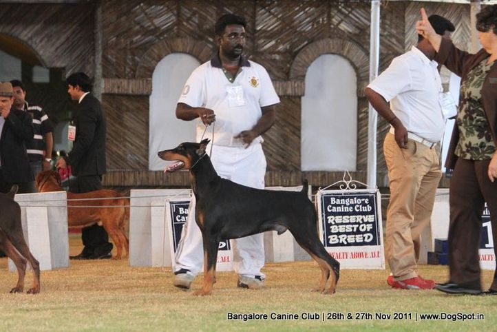 dobermann,ex-246,sw-49,, Bangalore Canine  Club 2011, DogSpot.in
