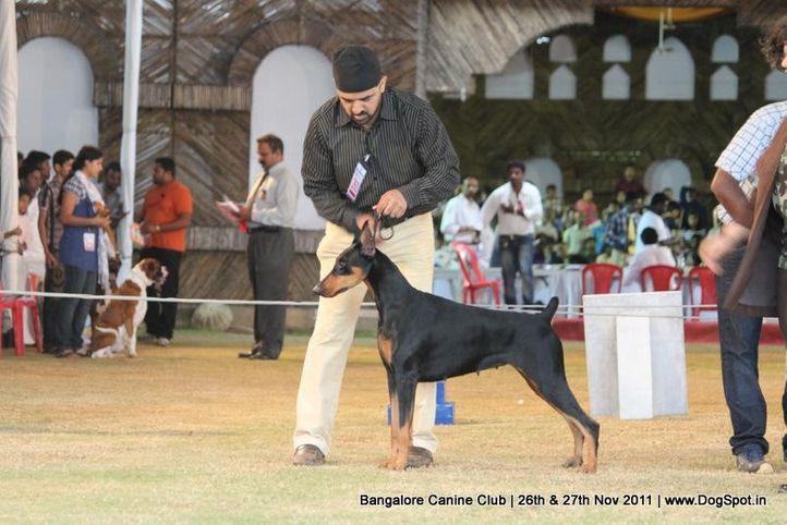 dobermann,ex-260,sw-49,, Bangalore Canine  Club 2011, DogSpot.in