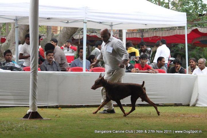 dobermann,sw-49,, Bangalore Canine  Club 2011, DogSpot.in