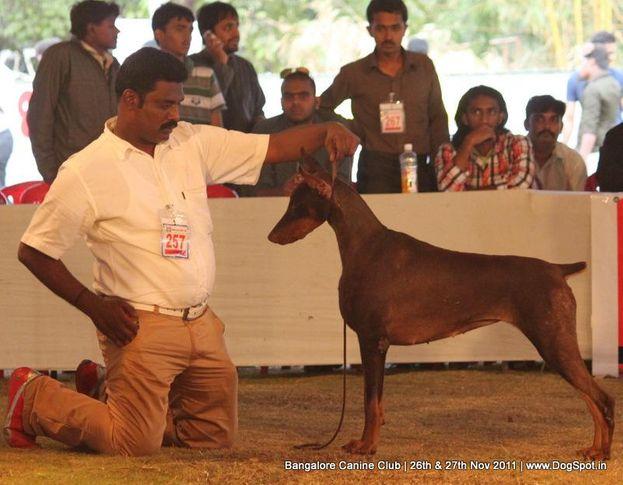 dobermann,ex-257,sw-49,, Bangalore Canine  Club 2011, DogSpot.in