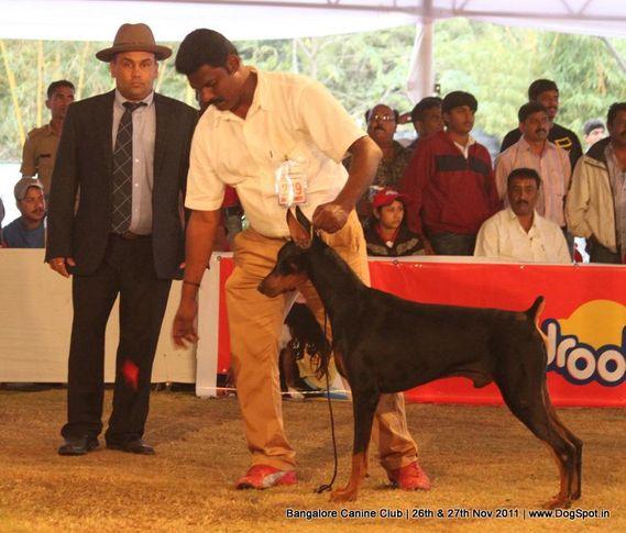 dobermann,ex-249,sw-49,, Bangalore Canine  Club 2011, DogSpot.in