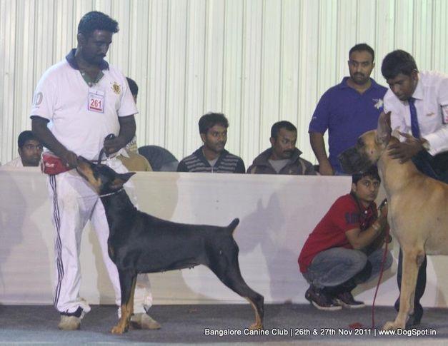 dobermann,ex-261,sw-49,, Bangalore Canine  Club 2011, DogSpot.in