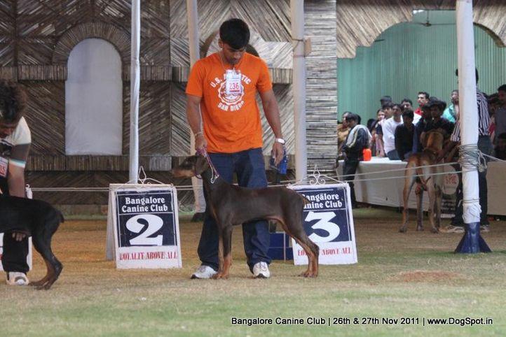 dobermann,ex-236,sw-49,, Bangalore Canine  Club 2011, DogSpot.in