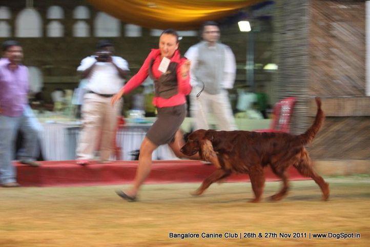 ex-121,irish setter,sw-49,, Bangalore Canine  Club 2011, DogSpot.in