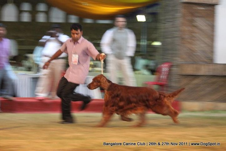 irish setter,sw-49,, Bangalore Canine  Club 2011, DogSpot.in