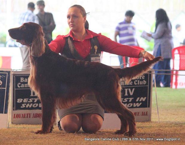 ex-121,irish setter,, Bangalore Canine  Club 2011, DogSpot.in