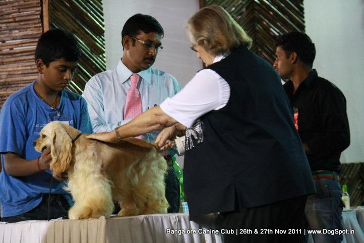 cocker spaniel,sw-49,, Bangalore Canine  Club 2011, DogSpot.in