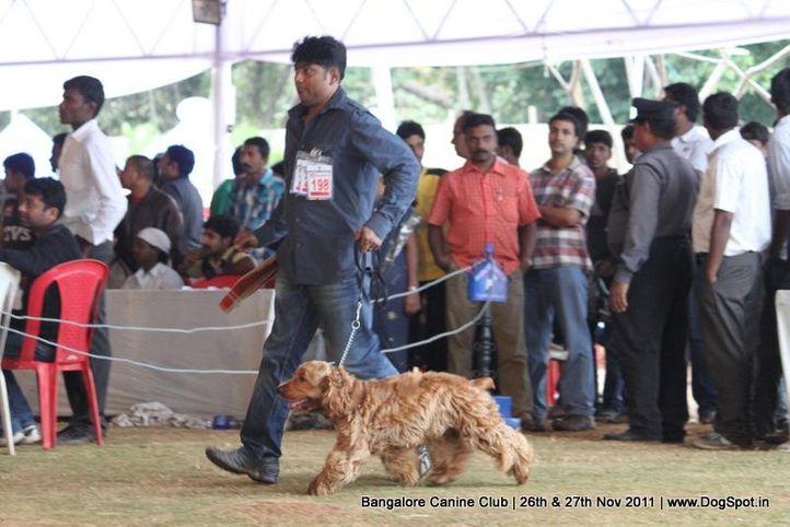 cocker spaniel,ex-198,sw-49,, Bangalore Canine  Club 2011, DogSpot.in