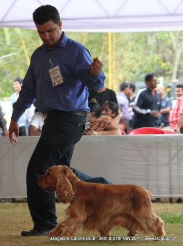 cocker spaniel,ex-204,sw-49,, Bangalore Canine  Club 2011, DogSpot.in