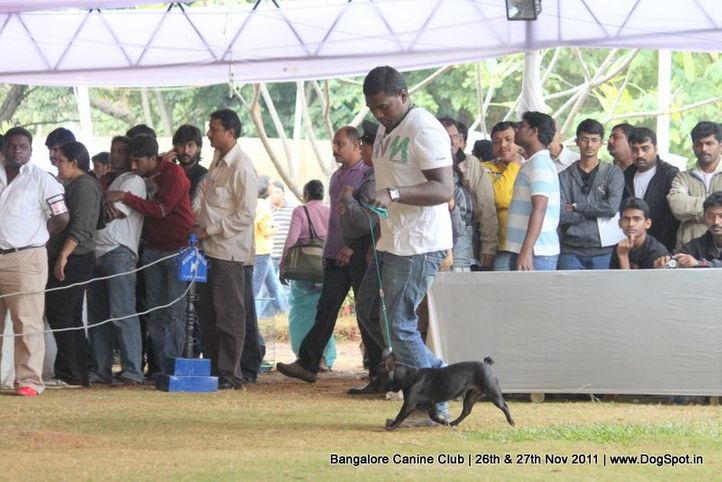 french bulldog,sw-49,, Bangalore Canine  Club 2011, DogSpot.in