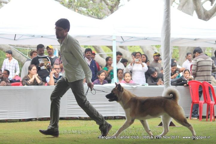 akita,ex-41,sw-49,, Bangalore Canine  Club 2011, DogSpot.in