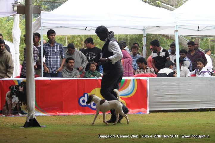 sw-49,terrier,, Bangalore Canine  Club 2011, DogSpot.in