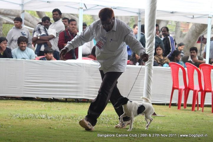 ex-37,sw-49,terrier,, Bangalore Canine  Club 2011, DogSpot.in