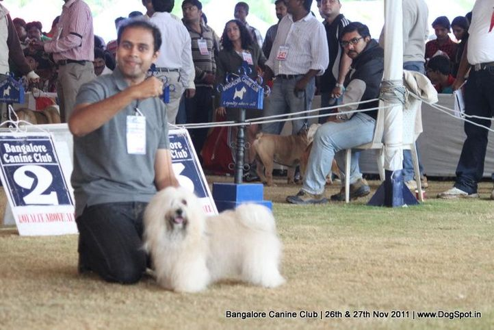 havenese,sw-49,, Bangalore Canine  Club 2011, DogSpot.in