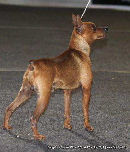 ex-6,minpin,sw-49,, Bangalore Canine  Club 2011, DogSpot.in