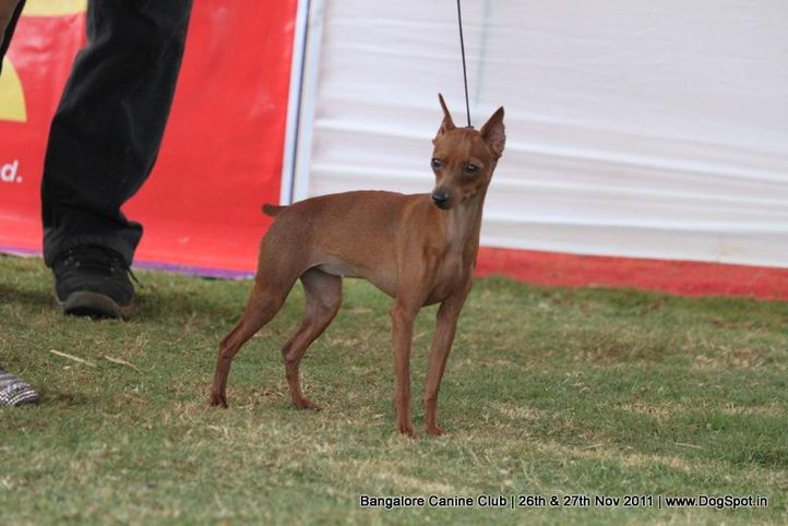 minpin,sw-49,, Bangalore Canine  Club 2011, DogSpot.in