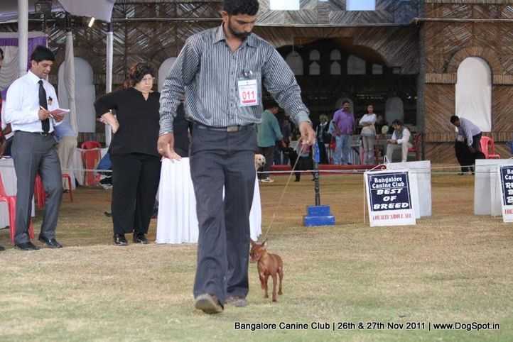 ex-11,minpin,sw-49,, Bangalore Canine  Club 2011, DogSpot.in
