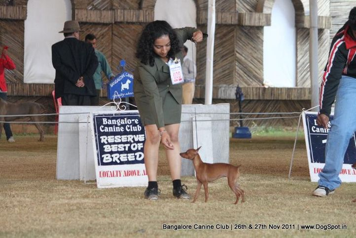 ex-9,minpin,sw-49,, Bangalore Canine  Club 2011, DogSpot.in