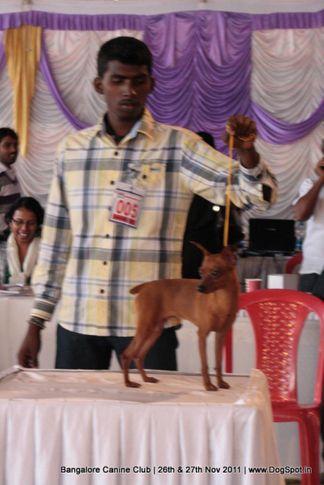 ex-5,minpin,sw-49,, Bangalore Canine  Club 2011, DogSpot.in
