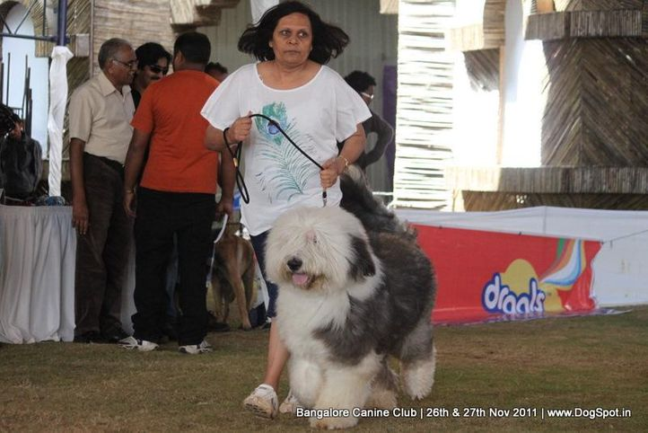 old engshepp dog,sw-49,, Bangalore Canine  Club 2011, DogSpot.in