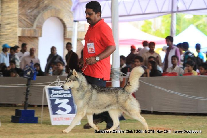 ex-404,siberian husky,sw-49,, Bangalore Canine  Club 2011, DogSpot.in